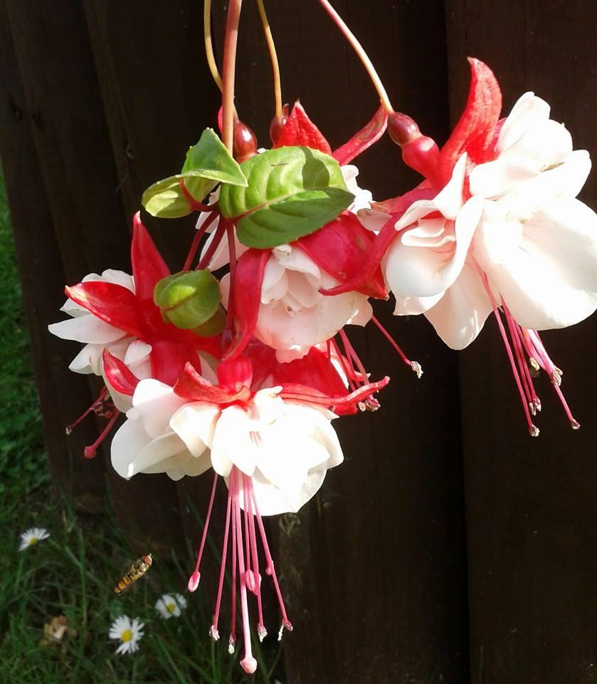 Fuchsia Swingtime