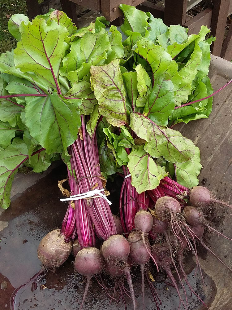Beetroot at Kiln Farm