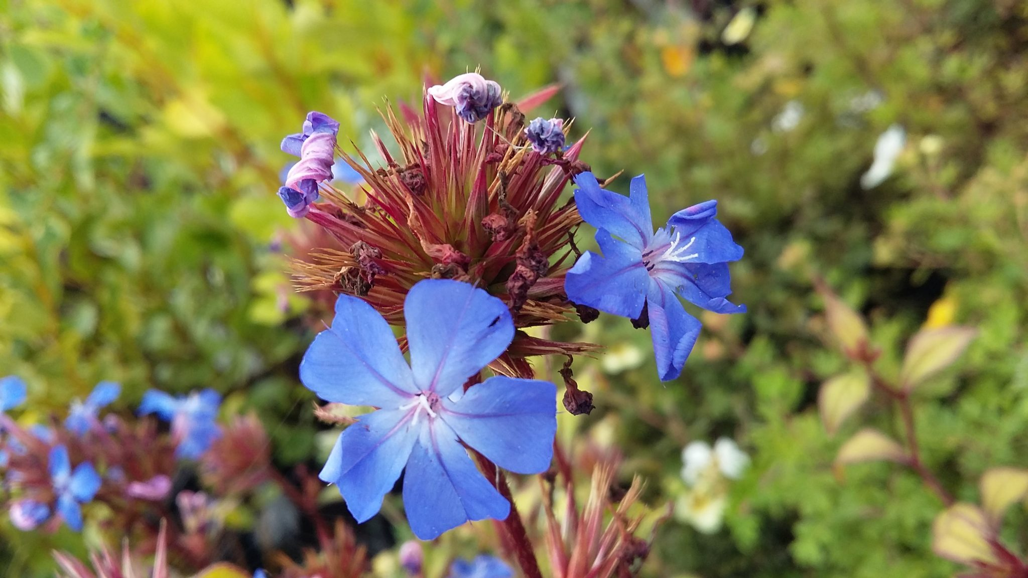 Cerotostigma - one of Paul's favourite shrubs with amazing blue flowers and autumn foliage colour