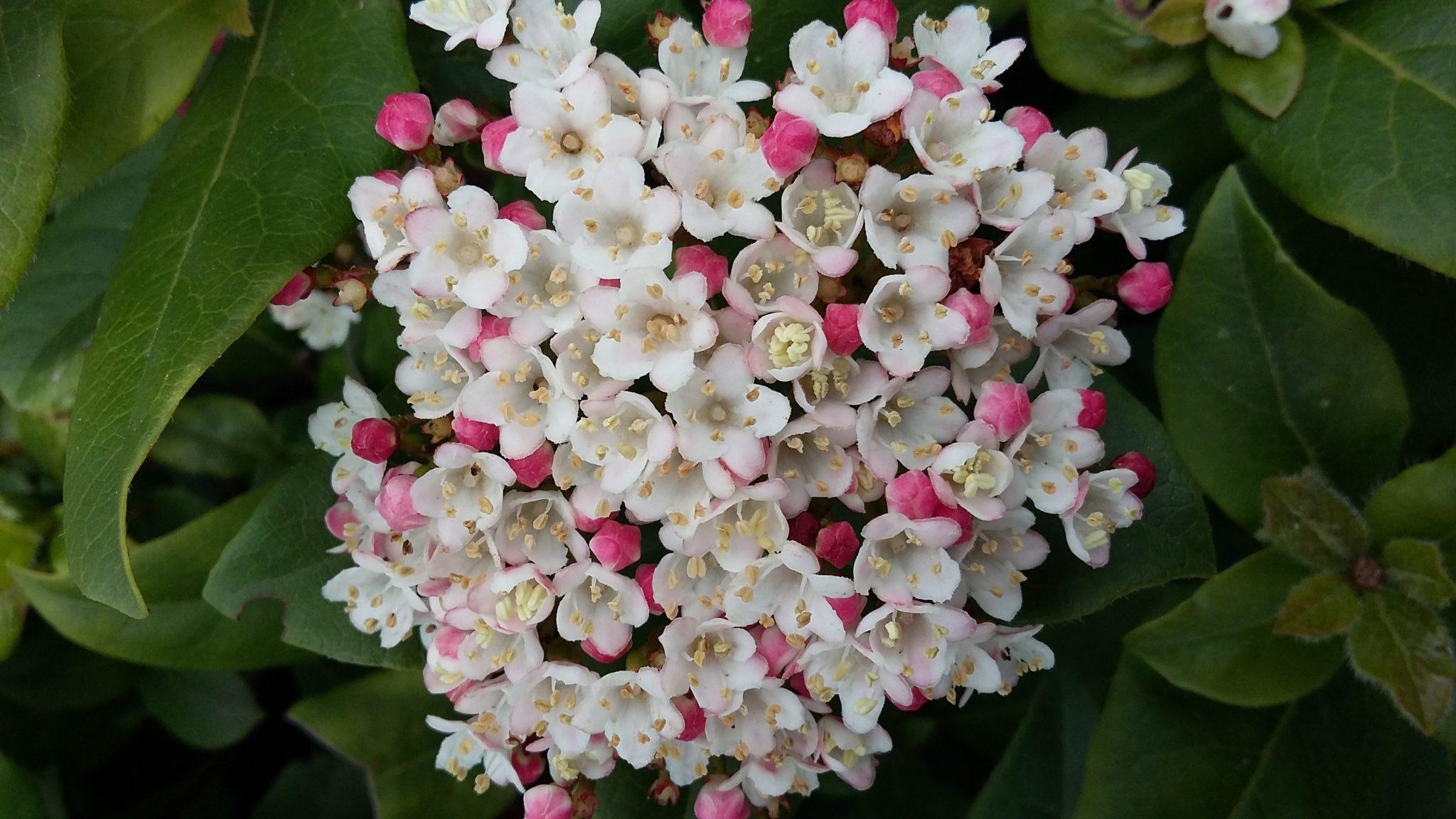 Viburnum Tinus a beautiful evergreen shrub that flowers in the autumn