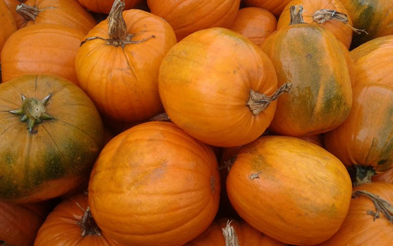 Pumpkins at Kiln Farm