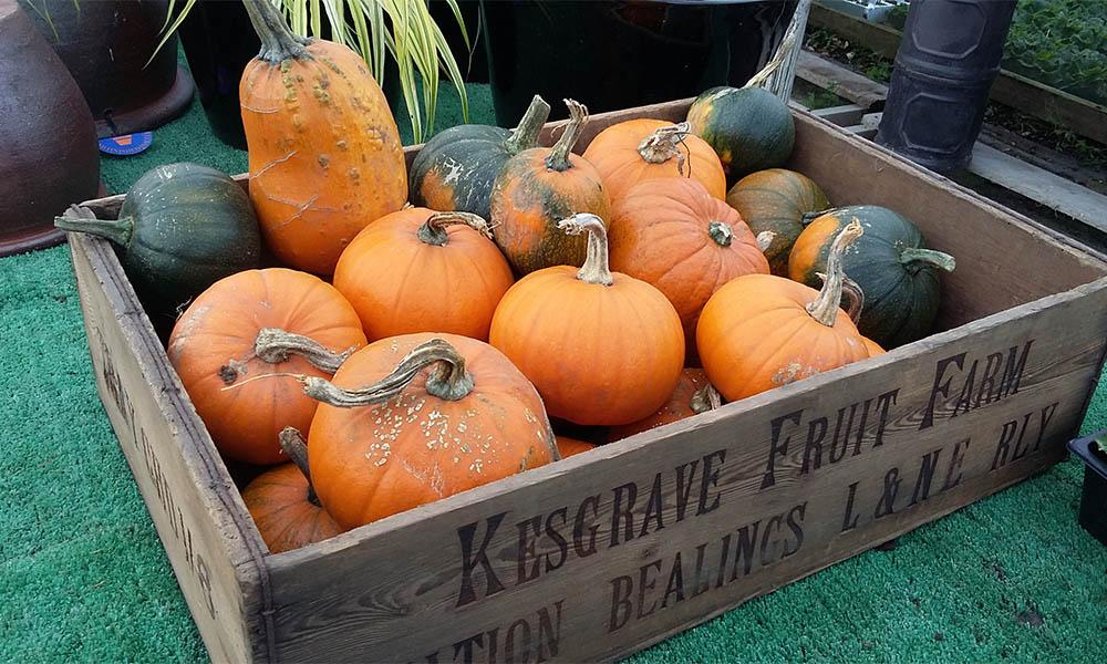 Pumpkins at Kiln Farm Nursery