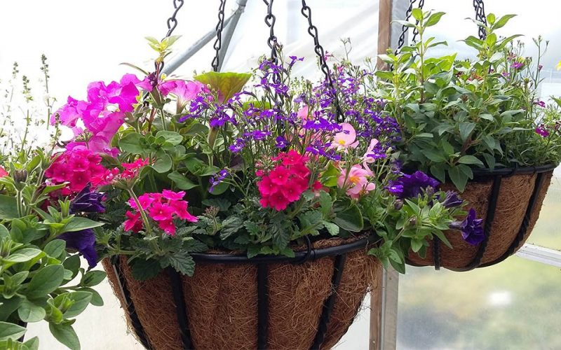 Hanging baskets at Kiln Farm Nursery